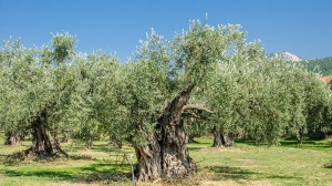 thassos olives (1)